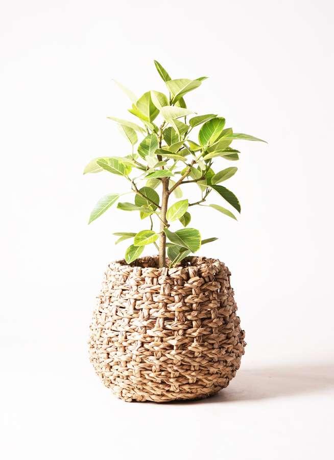 観葉植物 フィカス アルテシーマ 7号 ストレート ラッシュバスケット Natural 付き