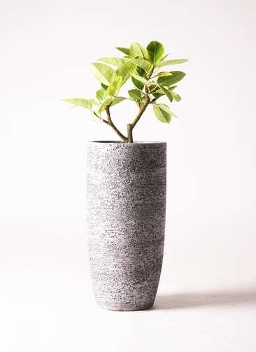観葉植物 フィカス アルテシーマ 6号 ストレート エコストーントールタイプ Gray 付き