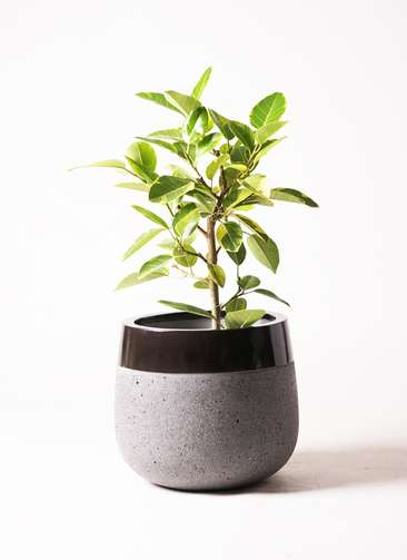 観葉植物 フィカス アルテシーマ 7号 ストレート ファイバーストーン タウルス ミドル 黒 付き