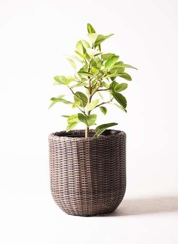 観葉植物 フィカス アルテシーマ 7号 ストレート ウィッカーポット エッグ NT 茶 付き