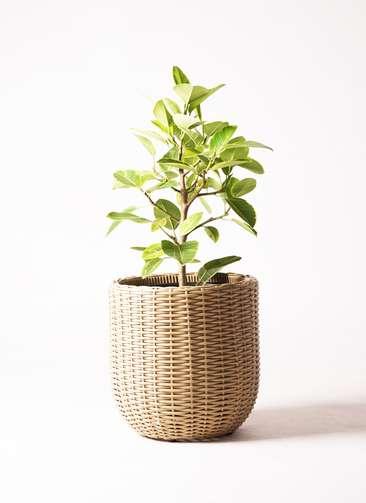 観葉植物 フィカス アルテシーマ 7号 ストレート ウィッカーポット エッグ NT ベージュ 付き
