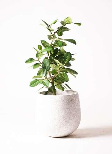 観葉植物 フィカス ベンガレンシス 7号 ストレート エコストーンwhite 付き