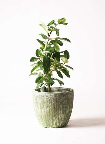 観葉植物   フィカス ベンガレンシス 7号 ストレート アビスソニア ミドル 緑 付き
