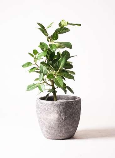 観葉植物 フィカス ベンガレンシス 7号 ストレート アビスソニア ミドル 灰 付き