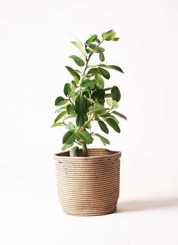 観葉植物   フィカス ベンガレンシス 7号 ストレート リブバスケットNatural 付き