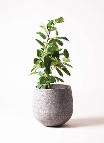 観葉植物 フィカス ベンガレンシス 7号 ストレート エコストーンGray 付き