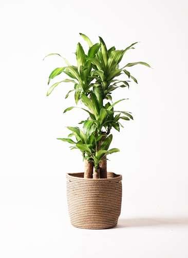人気観葉植物ドラセナ