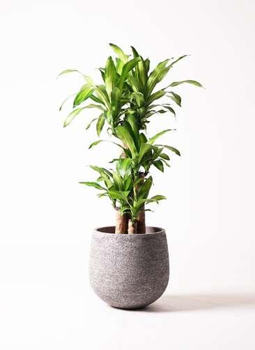 観葉植物 ドラセナ 幸福の木 8号 ノーマル エコストーンGray 付き