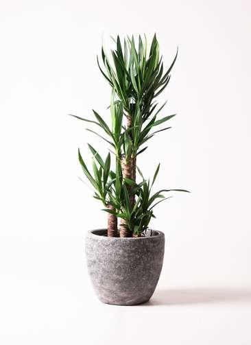 観葉植物 ユッカ 8号 ノーマル アビスソニア ミドル 灰 付き