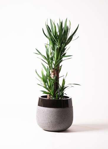 観葉植物 ユッカ 8号 ノーマル ファイバーストーン タウルス ミドル 黒 付き
