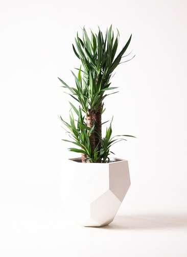 観葉植物 ユッカ 8号 ノーマル ポリゴヘクサ 白 付き
