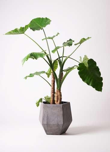 観葉植物 クワズイモ 10号 ファイバークレイGray 付き