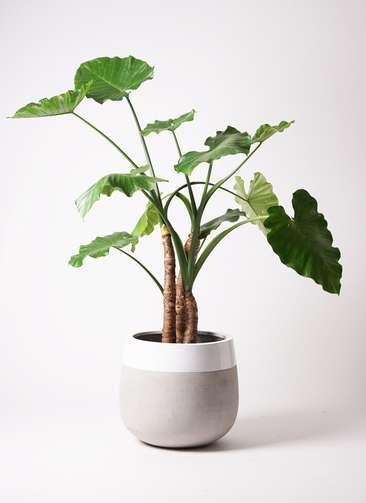 観葉植物 クワズイモ 10号 ファイバーストーンタウルス ミドル 白 付き