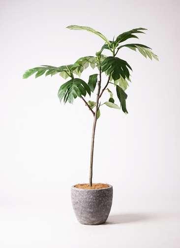 観葉植物 パンノキ 8号 アビスソニアミドル 灰 付き