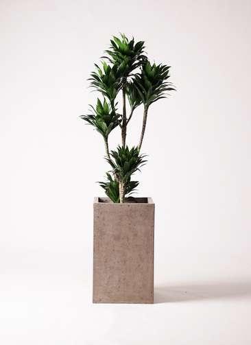 観葉植物 ドラセナ コンパクター 8号 セドナロング グレイ 付き