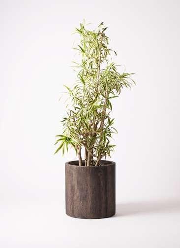 観葉植物 ドラセナ ソング オブ インディア 10号 アルファシリンダープランター 付き