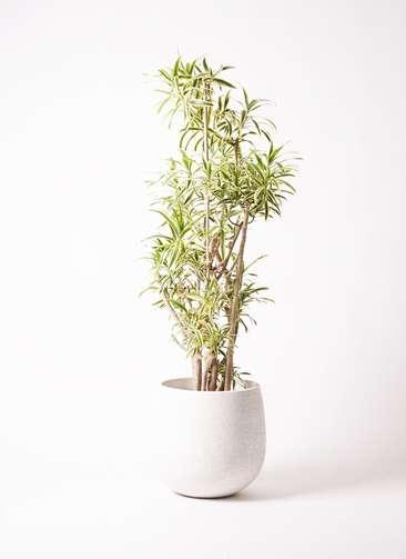 観葉植物 ドラセナ ソング オブ インディア 10号 エコストーンwhite 付き