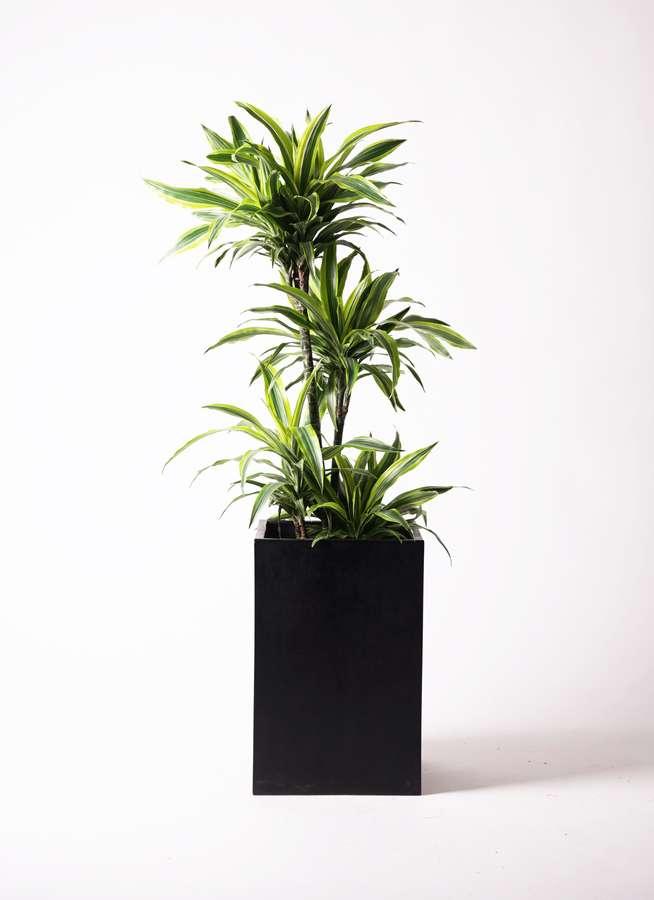 観葉植物 ドラセナ ワーネッキー レモンライム 10号 セドナロング 墨 付き