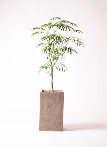 観葉植物 エバーフレッシュ 8号 ボサ造り セドナロング グレイ 付き