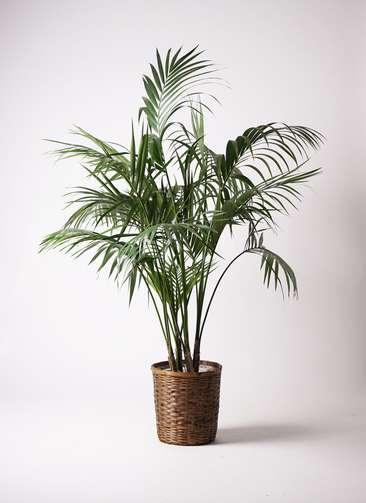 観葉植物 ケンチャヤシ 10号 竹バスケット 付き