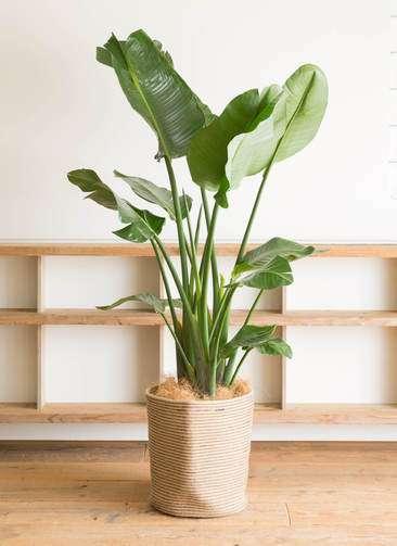 観葉植物 オーガスタ 10号 リブバスケットNatural 付き