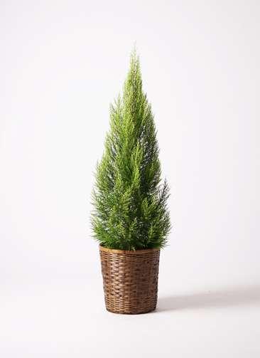 観葉植物 ゴールドクレスト 10号 ノーマル 竹バスケット 付き