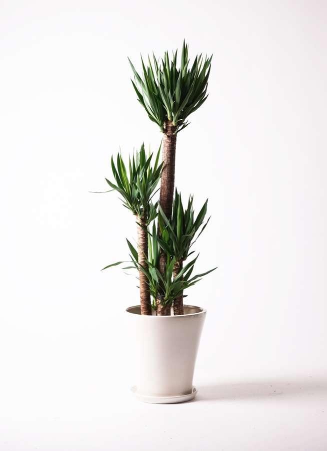 観葉植物 ユッカ 10号 ノーマル サブリナ 白 付き