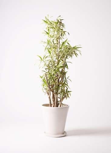 観葉植物 ドラセナ ソング オブ インディア 10号 サブリナ 白 付き