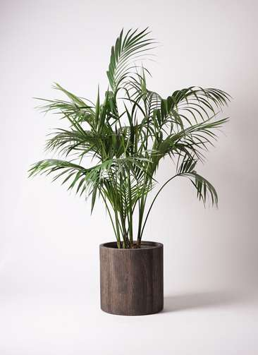 観葉植物 ケンチャヤシ 10号 アルファシリンダープランター 付き