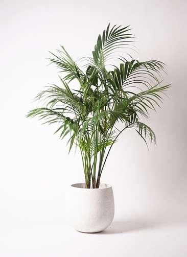 観葉植物 ケンチャヤシ 10号 エコストーンwhite 付き