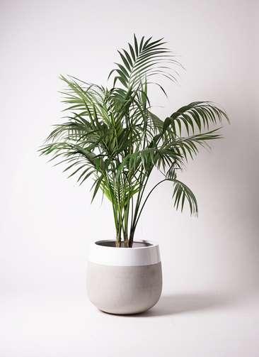 観葉植物 ケンチャヤシ 10号 ファイバーストーンタウルス ミドル 白 付き