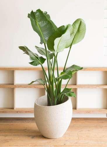 観葉植物 オーガスタ 10号 エコストーンLight Gray 付き