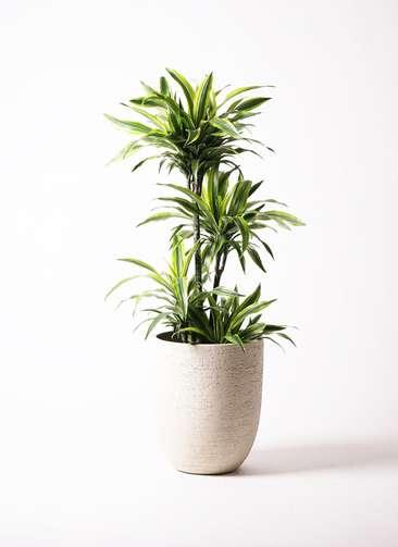 観葉植物 ドラセナ ワーネッキー レモンライム 10号 ビアスアルトエッグ 白 付き