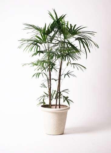観葉植物 シュロチク(棕櫚竹) 10号 ビアスリムス 白 付き