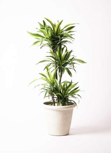 観葉植物 ドラセナ ワーネッキー レモンライム 10号 ビアスリムス 白 付き