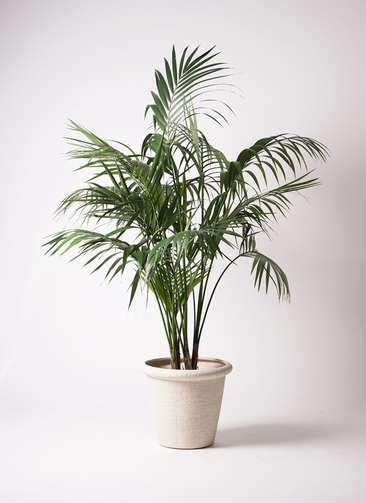 観葉植物 ケンチャヤシ 10号 ビアスリムス 白 付き