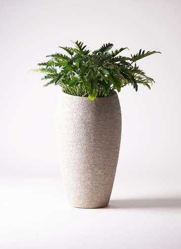 観葉植物 クッカバラ 7号 エコストーントールタイプ Light Gray 付き