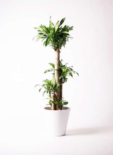 観葉植物 ドラセナ 幸福の木 10号 ノーマル フォリオソリッド 白 付き