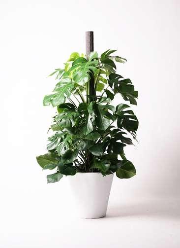 観葉植物 モンステラ 10号 ヘゴ柱 フォリオソリッド 白 付き