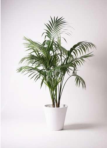 観葉植物 ケンチャヤシ 10号 フォリオソリッド 白 付き