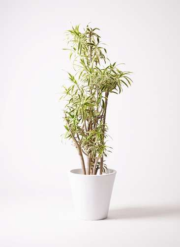 観葉植物 ドラセナ ソング オブ インディア 10号 フォリオソリッド 白 付き