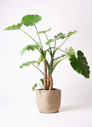 観葉植物 クワズイモ 10号 リブバスケットNatural 付き