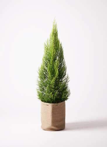 観葉植物 ゴールドクレスト 10号 ノーマル リブバスケットNatural 付き