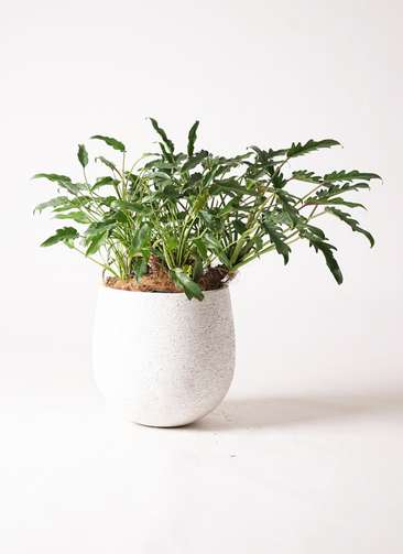 観葉植物 クッカバラ 6号 エコストーンwhite 付き