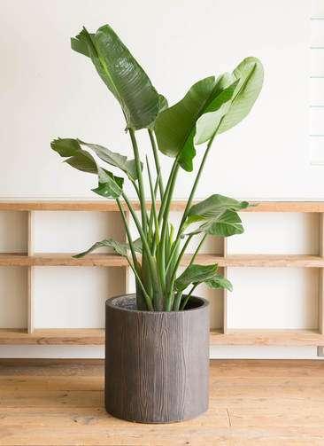 観葉植物 オーガスタ 10号 アルファシリンダープランター 付き