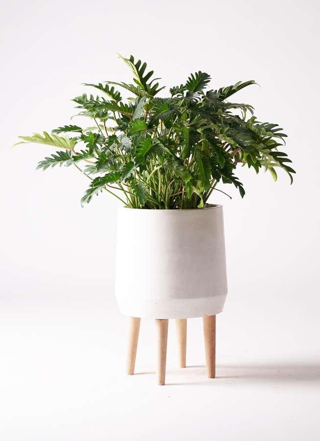観葉植物 クッカバラ 7号 ファイバークレイ white 付き