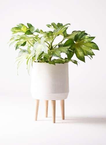 観葉植物 ヤツデ 7号 ファイバークレイ white 付き