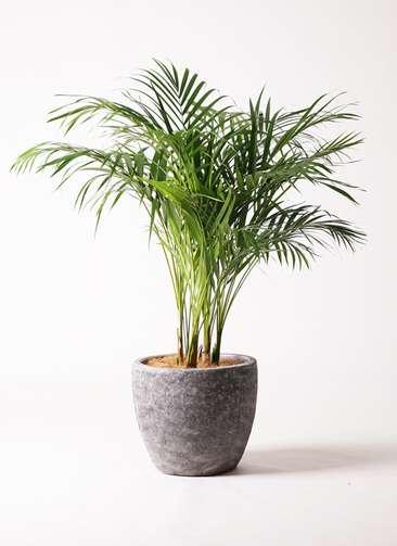 観葉植物 アレカヤシ 8号 アビスソニアミドル 灰 付き