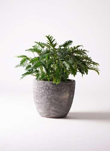 観葉植物 クッカバラ 7号 アビスソニアミドル 灰 付き