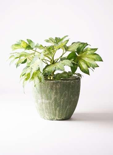 観葉植物 ヤツデ 7号 アビスソニアミドル 緑 付き